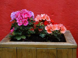Muškáty: Nejhezčí ozdoba balkónů