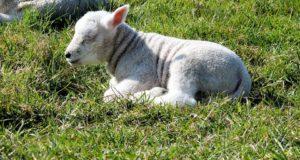 Proč si pořídit ovci?