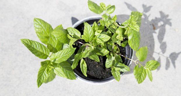 Jaké léčivky pořídit na zahradu?